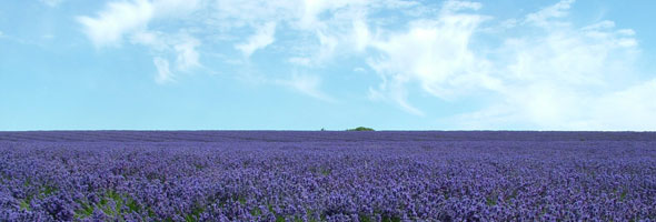Picture of Lavender field under a blue sky